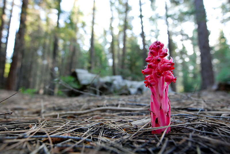 "<span id=""title"">Snow Plant</span> You see these in spring time in mountains in CA, OR and NV. They have a codependent relationship with large conifers. I had no idea what they were at first, so it was a neat surprise to see them popping up everywhere."