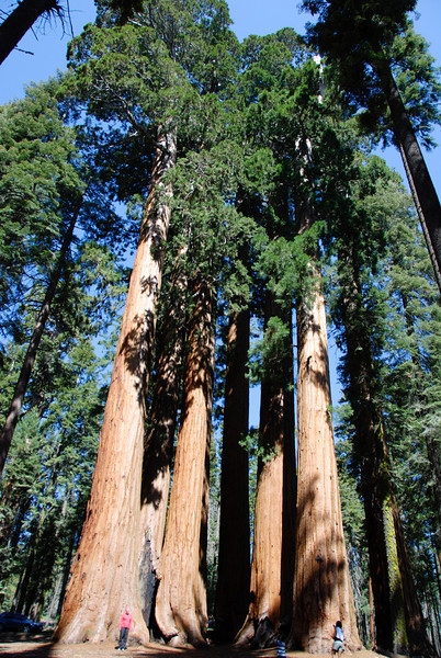 Parker Group<br /> A group of massive sequoias, all in very close proximity. My wife is on the left.
