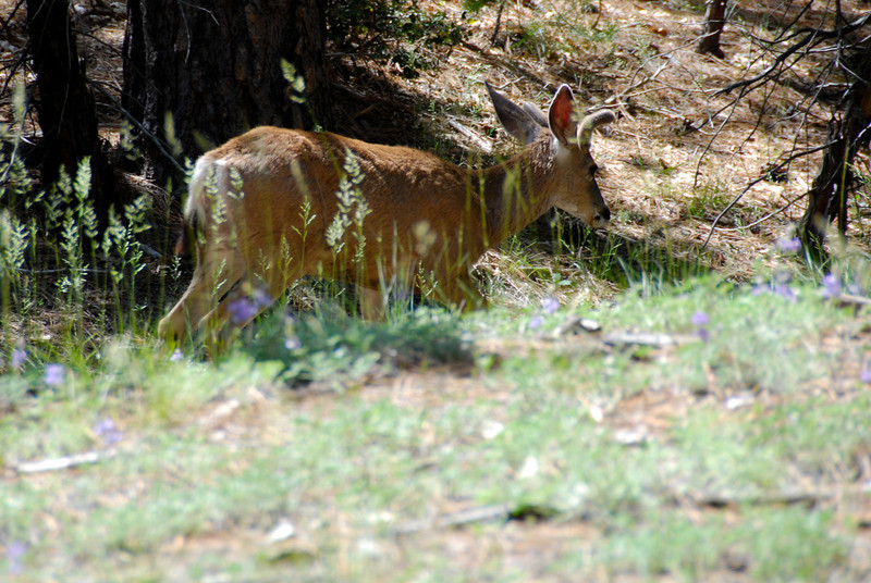 "<span id=""title"">Deer</span> Saw this young stag on the trail to Mist Falls at the end of the 180 in King's Canyon. Some stupid kids behind us actually said ""Whoa, is that a bobcat?"" when they first saw it. We didn't respond..."