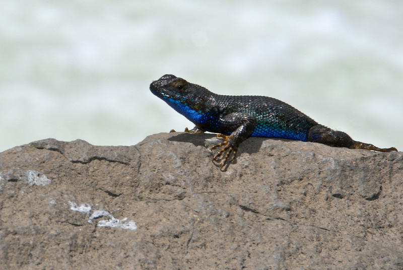 """<span id=""""title"""">Blue Lizard</span> There were a lot of these lizards around, and I couldn't believe how almost every single person took a photo of them whenever they were spotted. Obviously I took photos as well, but I wasn't as bad as some people we saw. This one was posing on a rock next to Roaring River Falls, our 2nd stop in King's Canyon after the hike."""