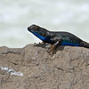 "<span id=""title"">Blue Lizard</span> There were a lot of these lizards around, and I couldn't believe how almost every single person took a photo of them whenever they were spotted. Obviously I took photos as well, but I wasn't as bad as some people we saw. This one was posing on a rock next to Roaring River Falls, our 2nd stop in King's Canyon after the hike."