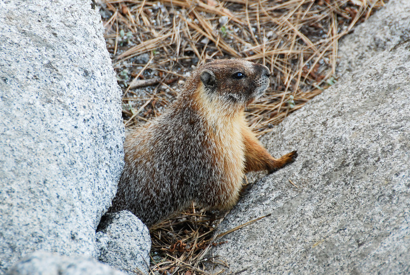 More marmot action...