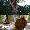 General Sherman Lost an Arm<br /> Some of the signage we read mused that it's hard to appreciate the true size of these trees since we're stuck with our puny human perspective. This helps:<br /> The top photo shows where a branch broke off in 2006 - it's about 180 feet up. The bottom photo is the branch, which stands about 6 ft high. Huge!