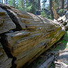 Fallen Sequoia<br /> There's a hole cut in this log to walk through, but it's not nearly as fun as the Fallen Monarch in Grant Grove.
