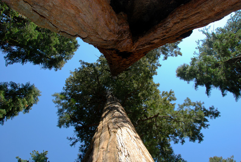 Sequoias<br /> These were near General Sherman in the Giant Forest grove - named because it is home to so many large trees. 4 out of the 5 biggest, in fact. We learned that location is key to the sequoia's size, so the Giant Forest environment must be ideal.