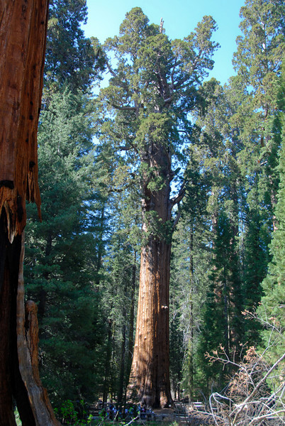 General Sherman<br /> Pretty much the only place you can view the whole tree without looking straight up. I found that interesting about the sequoias - as massive as they are, all of the other trees in the forest obscure the view until you're right next to them.