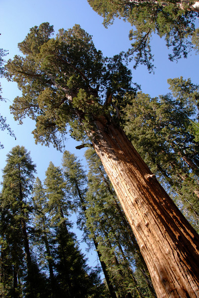 General Sherman<br /> The largest tree, and therefore largest living organism, on the planet. Though it's not the widest, tallest or oldest, there is more volume to this guy than any other known tree - 1487 cubic meters. That also makes it the heaviest at 1385 tons.