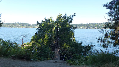 Saw this tree, still alive, growing sideways, off the shore. Can't really tell how big it is until you see the next photo.