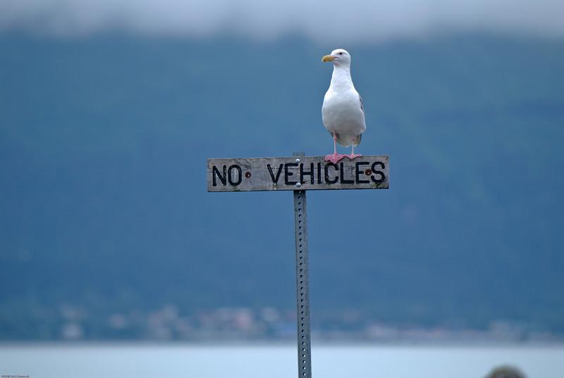 Seagull across the bay from Seward, AK