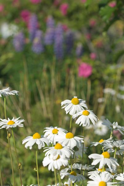 Alaskan daisies.