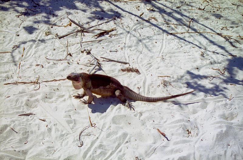 Iguana Island resident