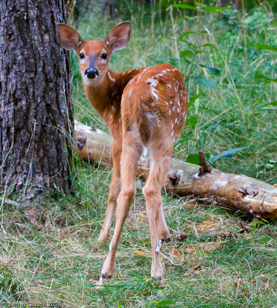 I started walking toward this fawn just to see how close I could get.