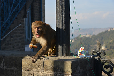 Monkeys have a field day. Shimla is the capital city of the Indian state of Himachal Pradesh, located in northern India at an elevation of 7,200 ft. Due to its weather and view it attracts many tourists. It is also the former capital of the British Raj.