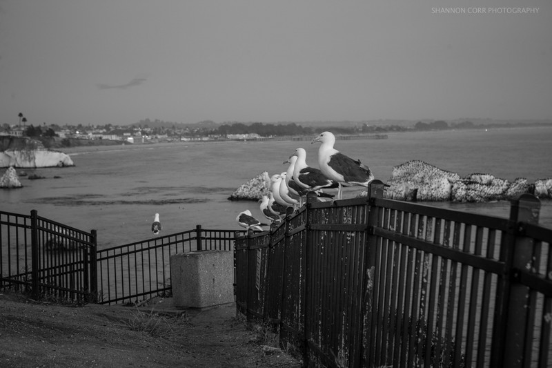 Gulls at Pismo