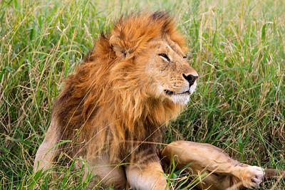 Rousing lion