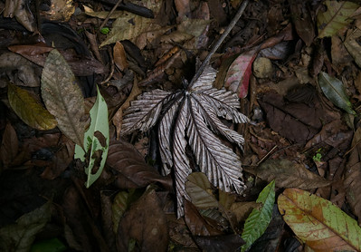Cecropia leaf