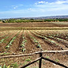 Between Catania and Syracuse - this is part of the farm owned by the Contessa, where we enjoyed an excellent five-course lunch.  I believe the main crop is Artichokes.