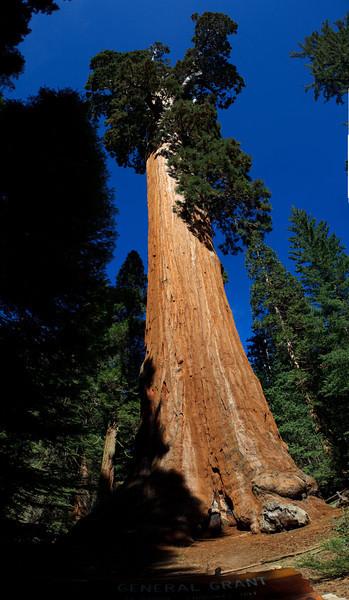 General Grant Tree - Panoramic