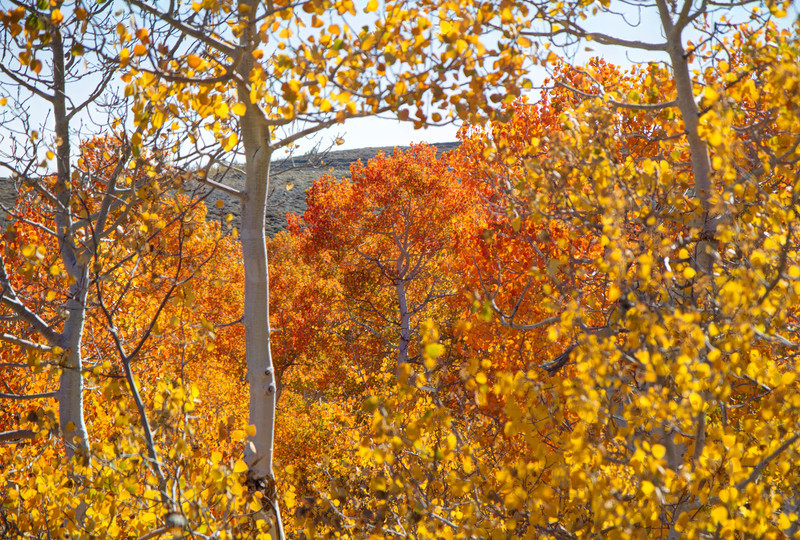 Aspens range is limited in the Sierra but are amazing still when they change color