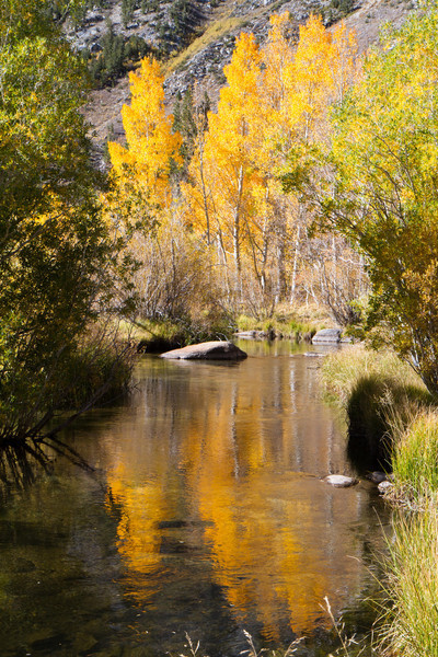 Aspens reflecting in the stream