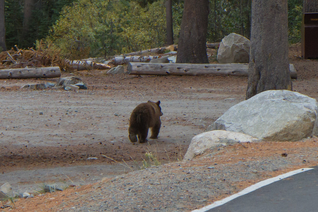 """I almost stumbled on this black bear, and shouted out """"sh-t, it's a bear!!"""". The bear then thought """"sh-t, it's a human!!"""" and ambled away as quick as it could"""