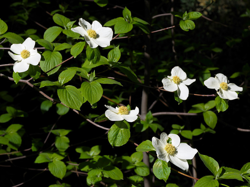 Dogwood in bloom in the sequoia groves.