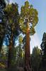 Sequoia, Grant's Grove
