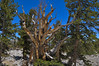 3200 year old Bristlecone Pine... still alive.