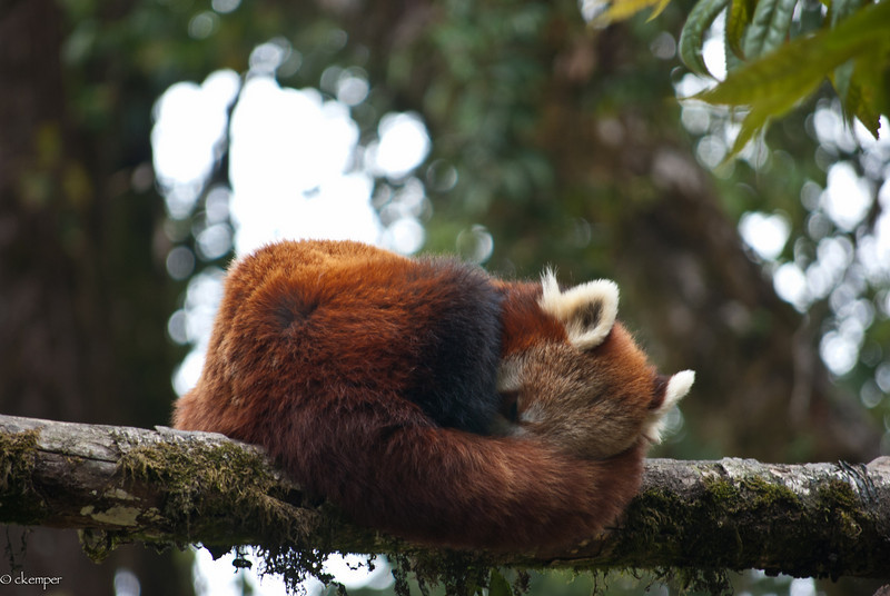 Red Panda-The State animal of Sikkim