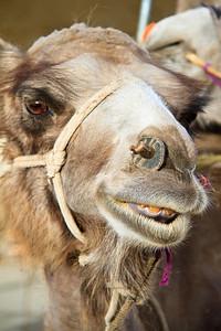 Flirting camel