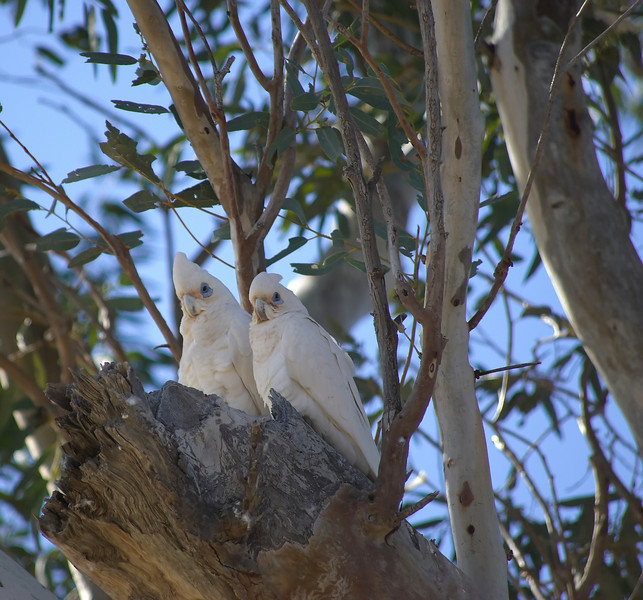 A Pair White Cockatoos