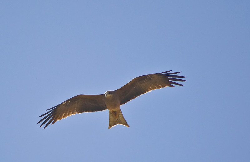 A Whistling Kite