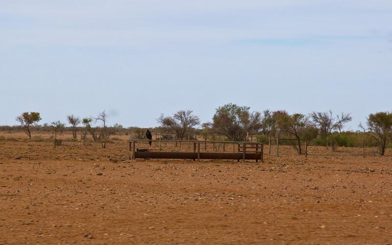 2 Wedge Tail eagles sitting on a cattle trough.