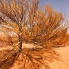 Gidgee Tree. Simpson Desert