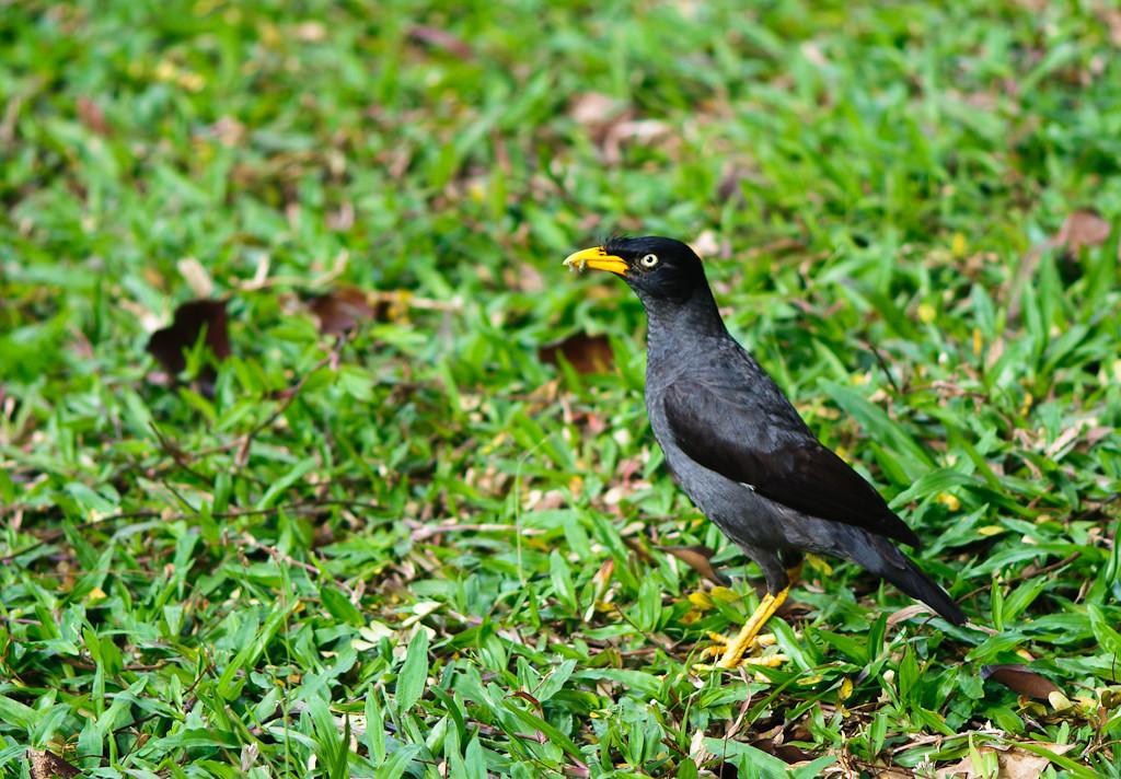 singapore bird