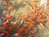 China - Lijiang Fish in Canal