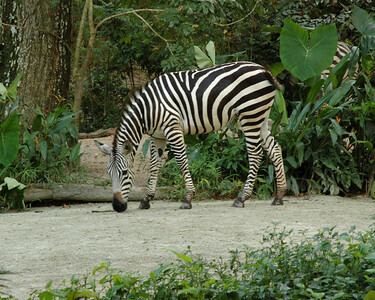 Visit to Singapore Zoo with my friend Varun Arora who helped me get the D70. First day out with the camera! Saw this zebra. May, 2004.