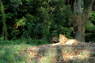 Two lions & a lioness as seen in a visit to Singapore Zoo with my friend Varun Arora who helped me get the D70. First day out with the camera! May, 2004.