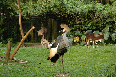 Grey Crowned Crane (Balearica regulorum). Visit to Singapore Zoo with my friend Varun Arora who helped me get the D70. First day out with the camera! May, 2004.