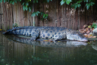 Croc @ SG. Visit to Singapore Zoo with my friend Varun Arora who helped me get the D70. First day out with the camera! May, 2004.