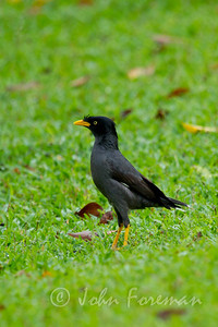 Crested Mynah, Singapore