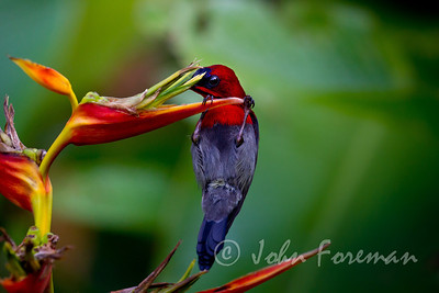 Crimson sunbird, Singapore