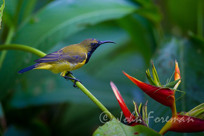 Male Olive-backed sunbird, Sinagpore
