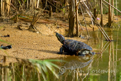 Red-eared Terrapin, Singapore