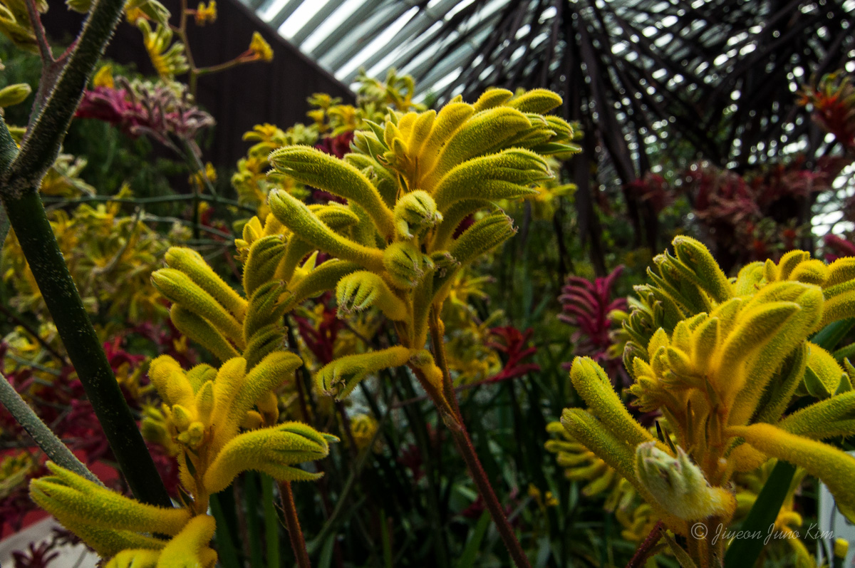 Exotic plants in the Flower Dome - it is kangaroo paw