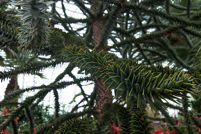 The nickname of this tree is Monkey's puzzle