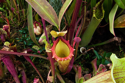 Carnivorous plant at the Flower Dome