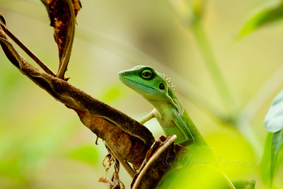 Green Crested Lizard, Sungei Buloh