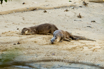 Asian Smooth Otters, Sungei Buloh