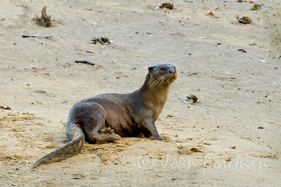 Asian Smooth Otter, Sungei Buloh